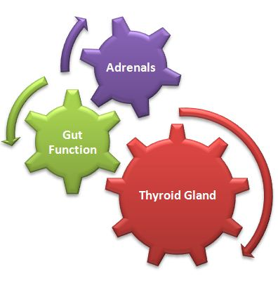 Adrenals, Gut Function and Thyroid Gland | Dr. Hagmeyer