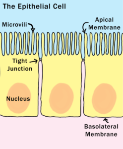 Leaky Gut Explained - The Epithelial Cell