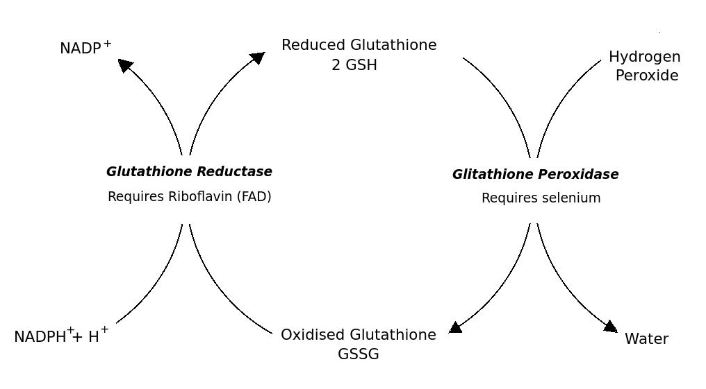 Glutathione-Metabolism