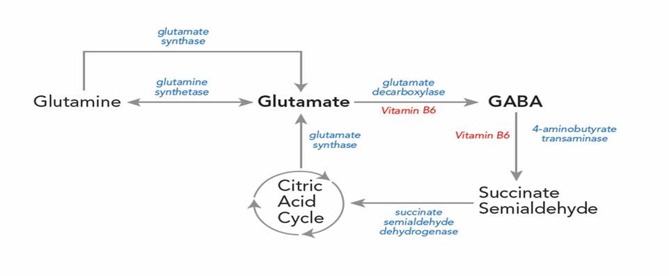 Glutamine Glutamate GABA Balance