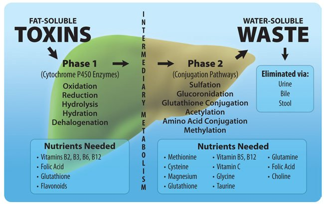 Image result for phase 1 and 2 liver detoxification